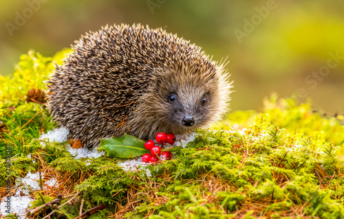 Photo  Hedgehog in Winter with green moss, ice and red berries