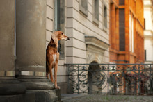 Persian Greyhound Dog In The C...