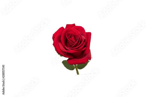 Fototapety, obrazy: red rose flower
