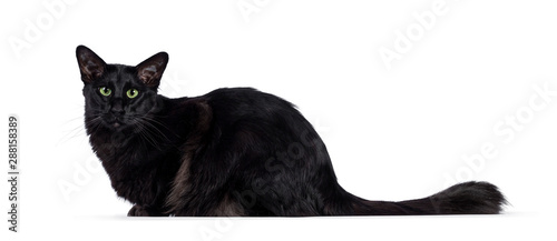 Pretty young adult solid black Balinese / Oriental Longhair cat, laying down side ways Canvas Print