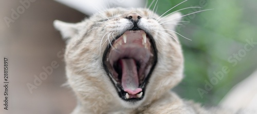 Fototapety, obrazy: Brown tabby domestic cat yawning on blurred green yard