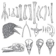 Set Of Bird Skeleton Bones And...