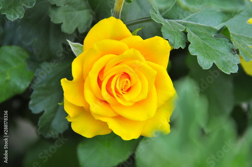 yellow bud of a big rose