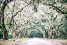 Atmospheric Southern Country Road Lined With Oak Trees With Overhanging Branches Dripping In Spanish Moss Near Charleston, South Carolina, USA