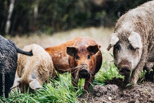 Canvas Print Wild boars (Sus scrofa) animal family with baby boar in autumn forest
