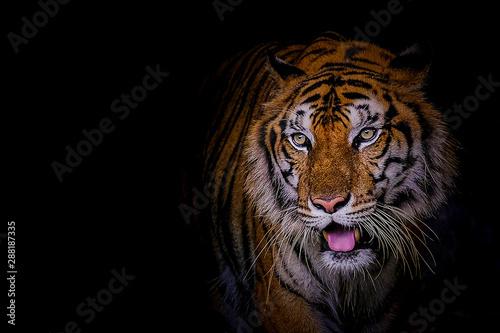 Foto auf AluDibond Tiger Face tiger the Siberian tiger (Panthera tigris tigris) also called Amur tiger