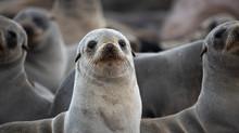 Cape Fur Seals On Namibian Skeleton Coast.