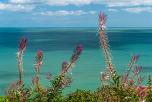 Irish Native Wildflowers Growing On A Hill Next To The Sea In Late Summer. Mature Fireweed Flowers, Also Known As Great Willowherb, Releasing Seeds.