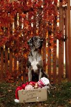 Dog Sitting Near Christmas Decorations