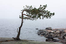 The Pine Tree And The Fog