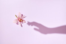 The Shadow Of Womans Hand Touches A Tender Pink Orchid Flower On A Pastel Pink Background. Flat Lay.