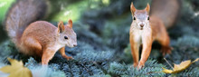 Cute Funny Squirrels In The Coniferous Forest. Wild Nature. Autumn And Summer Background..Banner Format.