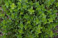 Thyme Herb Growing In Garden Bed