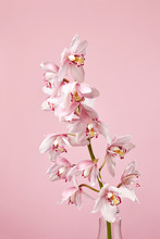 The Branch Of Beautiful Blossoming Orchids Flowers In A Glass Vase On A Pastel Pink Background.