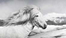 An Icelandic Horse In Front Of Ice