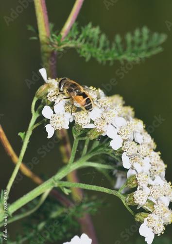 Hoverfly nectar feeding on a white flower Fototapet