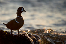 A Male Harlequin Duck Stands On A Rock Covered In Mussels With Water Splashing Over It.