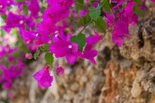Lilac Bougainvillea Flowers On The Rock