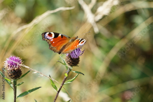 Peacock Butterfly Isolated on a Thistle Flower - Aglais Io