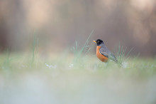 An American Robin Stands Next To Taller Green Grass With A Smooth Foreground And Background.