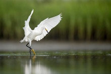 A White Snowy Egret Feeds In The Shallow Water In A Marsh With A Green Grass Background In Soft Overcast Light.