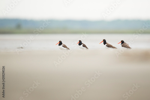 A group of four American Oystercatchers standing on a beach in overcast light Wallpaper Mural