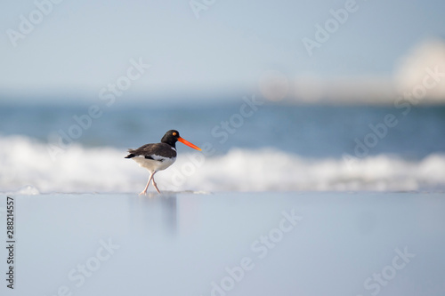 Photo  An American Oystercatcher standing on the wet sand with crashing waves in the background in the bright sun