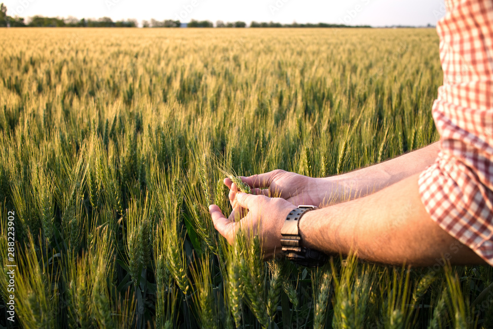 Fototapeta Farmer or agronomist in ripe wheat field, examining the yield quality. Hands close up.