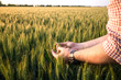 canvas print picture - Farmer or agronomist in ripe wheat field, examining the yield quality. Hands close up.