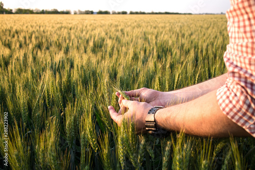 Obraz Farmer or agronomist in ripe wheat field, examining the yield quality. Hands close up. - fototapety do salonu