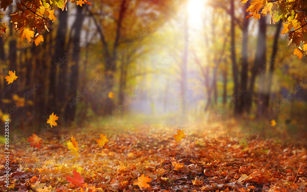 Fototapeta Beautiful autumn landscape with yellow trees and sun. Colorful foliage in the park. Falling  leaves natural background .Autumn season concept
