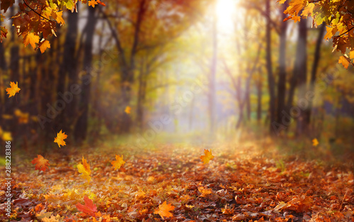 Beautiful autumn landscape with yellow trees and sun. Colorful foliage in the park. Falling  leaves natural background .Autumn season concept - 288228386