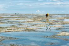 Algae Harvest During Low Tide