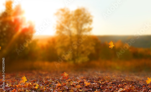 Poster Blanc Beautiful autumn landscape with yellow trees,green and sun. Colorful foliage in the park. Falling leaves natural background