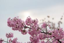 Beautiful Cherry Blossoms In Washington Dc Spring Tidal Basin