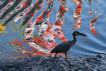 Recife / Pernambuco / Brazil. February 7, 2013. A Heron Is Seen Against The Multicolored Reflections Of The Capibaribe River In The City Center.