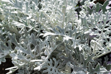 Silvery Foliage Cineraria Maritima In The Garden.