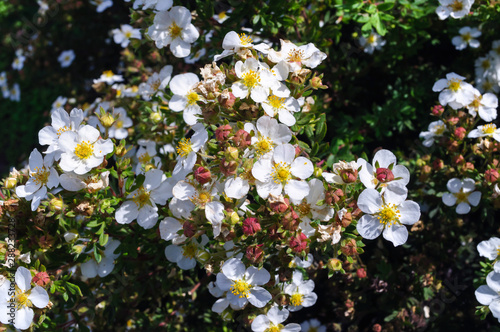 White flowers Potentilla fruticosa in the garden. Fototapeta