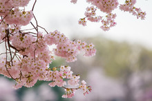 Spring Cherry Blossoms At The ...