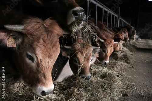 Cadres-photo bureau Vache Elevage d'Aubrac