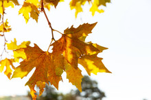 Beautiful Golden Maple Leaves Hang On A Tree Branch In The Park In Autumn.