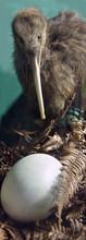 Nesting Kiwi