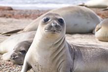 Elephant Seal On Beach Close U...