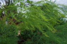 Close Up Of Asparagus Fern Stalks