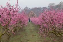 Blooming Peach Tree In Spring
