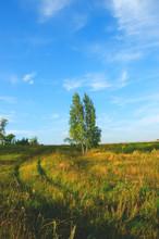 Birch Tree In The Field