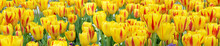 Close Up Of Washington Tulips ...