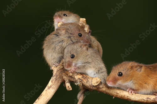 Fotografía  harvest mice exploring and eating while looking cute
