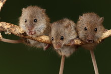 Harvest Mice Exploring And Eat...