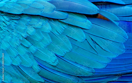 Spoed Foto op Canvas Papegaai Close up of Blue macaw birds feathers background and.